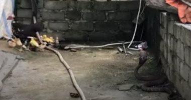 .معركة بين الأفعى الخطيرة ودجاجة تحاول حماية صغارها.. فيديو